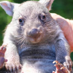 Meet Grace the Wombat at the Australian Reptile Park